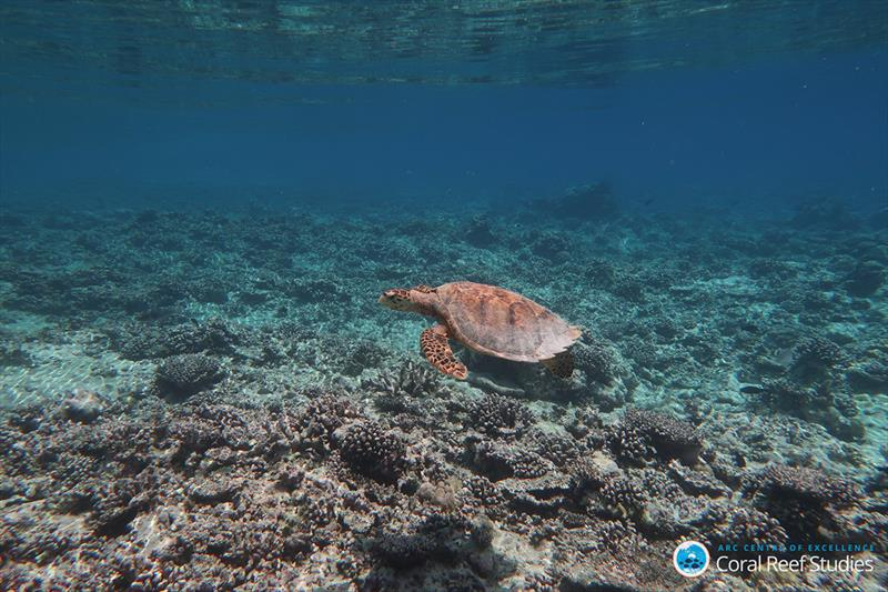 A turtle swimming over a reef destroyed by the 2016 bleaching event in the Indian Ocean - photo © ARC CoE for Coral Reef Studies /  Kristen Brown
