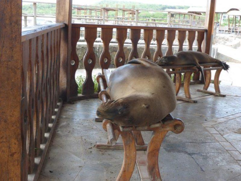 San Cristobal is the island of sea lions! Sea lions on dock seats - photo © Jane and Russell Poulston