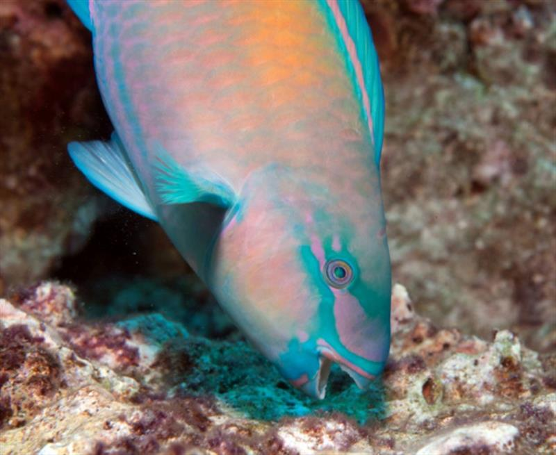 A brightly colored male bullethead parrotfish (Chlorurus spilurus) feeds on protein-rich microbes on and within the reef substrate. Wave action affects the quantity and quality of these resources, affecting growth and resultant body size of parrotfishes. - photo © Steven Lindfield