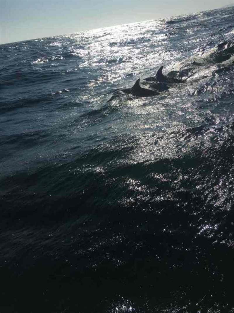 Dolphins escorting Red Roo - photo © SV Red Roo