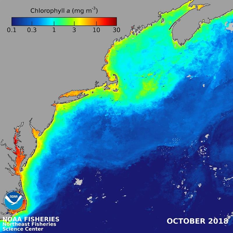 Average chlorophyll a concentration, the primary green phytoplankton pigment used to estimate phytoplankton concentrations, from October 2018 for the Northeast U.S. continental shelf derived from the MODIS-Aqua ocean color satellite sensor (NASA). - photo © NOAA Fisheries / Kimberly Hyde