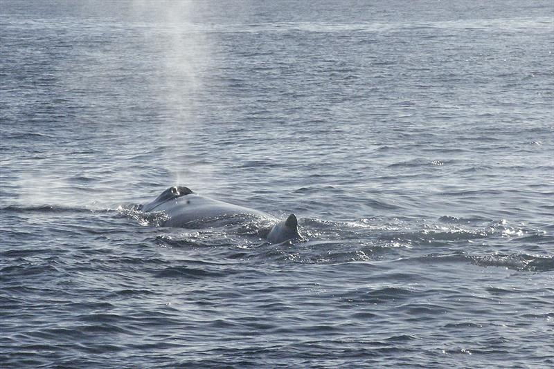 Up close with humpback whales in Samana photo copyright Mission Ocean taken at  and featuring the Cruising Yacht class