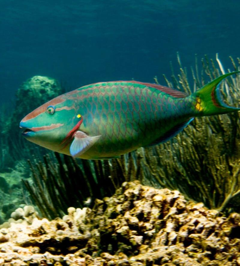 The stoplight parrotfish (Sparisoma viride) is one of the most important consumers of seaweed on coral reefs. This is a terminal phase male, observed at St. Croix, U.S. Virgin Islands. - photo © Peter Mumby