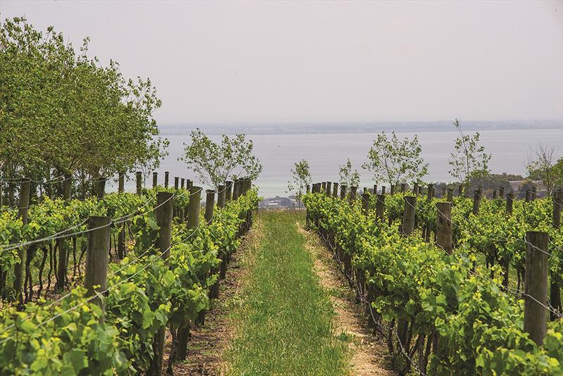 Grapes and water - Scotchmans Hill Vineyard is both pretty and turns out sensational wine - photo © Scotchmans Hill