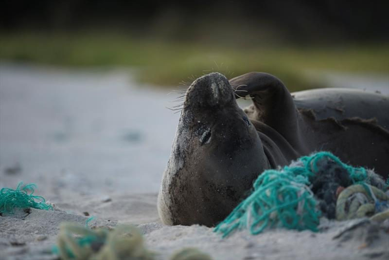 Hawaiian monk seal resting on derelict fishing net - photo © NOAA Fisheries / Steven Gnam