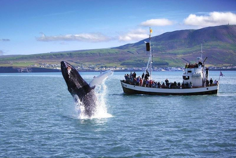 Whales in Iceland - photo © Andrew Bedwell