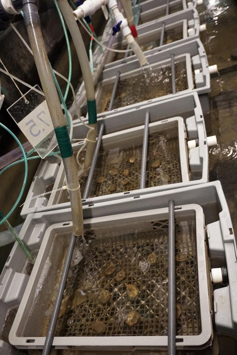 Oysters in experimental flow-through tanks during ten-week ocean acidification experiment. photo copyright NOAA Fisheries taken at