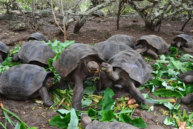 Giant tortoises - photo © SV Taipan