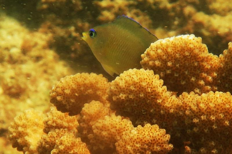 These damselfish are often found guarding cauliflower-like coral heads. They dart in and out and chase away other fishes that come close — it's fun to watch. We can distinguish these fish by their bright blue eyes. photo copyright NOAA Fisheries / Raymond Boland taken at