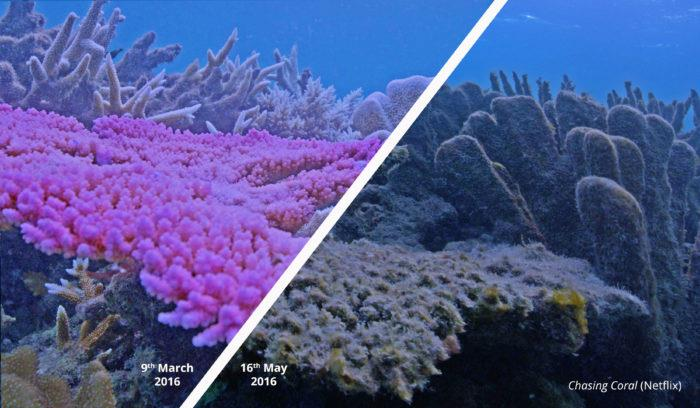 Marine Heatwaves A Bigger Threat To Coral Reefs Than