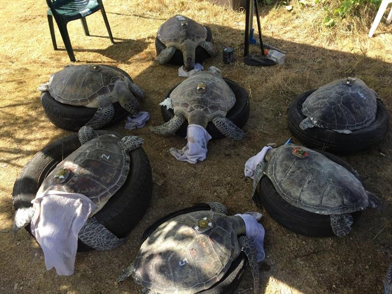 Seven green turtles equipped with satellite and flipper tags during land-based operations on Guam. - photo © NOAA Fisheries