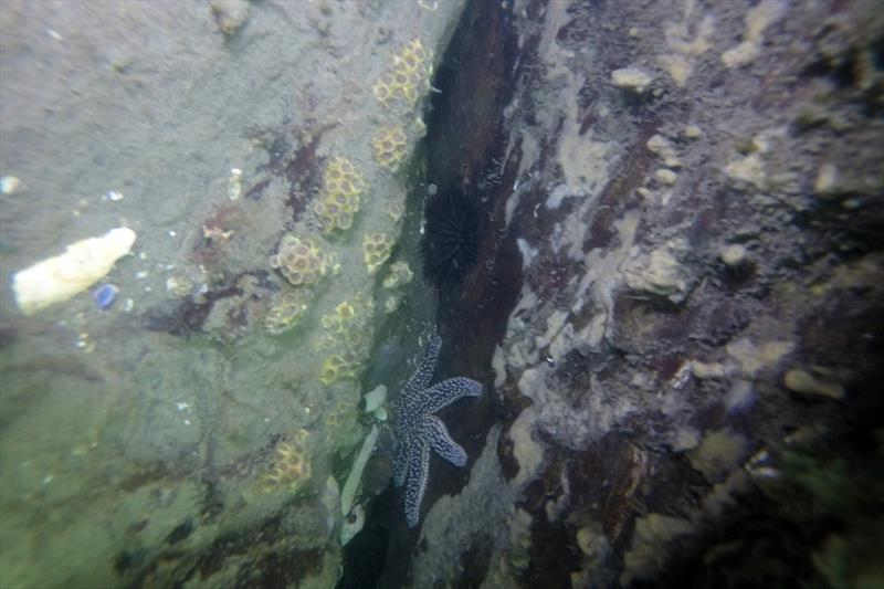 Astrangia poculata growing in the wild about 12 feet below the surface at Anchor Beach, Milford, Connecticut. - photo © Sean Grace