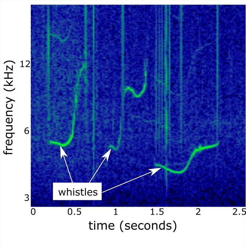 A spectrogram, a visual representation of sound, shows these false killer whale whistles as green, oscillating lines. This study measured 50 characteristics, including frequency start and end, frequency range, and whistle duration. photo copyright NOAA Fisheries taken at