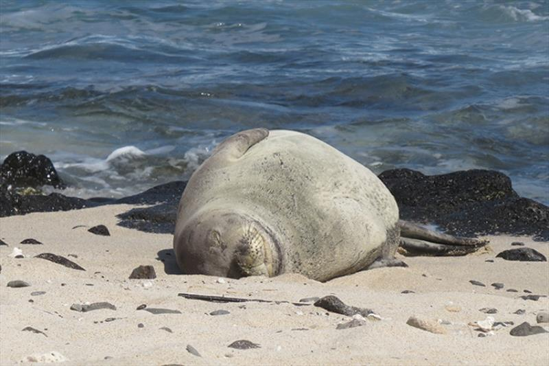 PO2 resting on the shoreline. Please observe monk seals from a respectful distance of at least 50 feet. - photo © HMAR