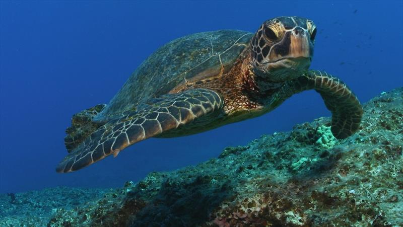 A green sea turtle at Midway Atoll in Papahanaumokuakea Marine National Monument. - photo © NOAA Fisheries