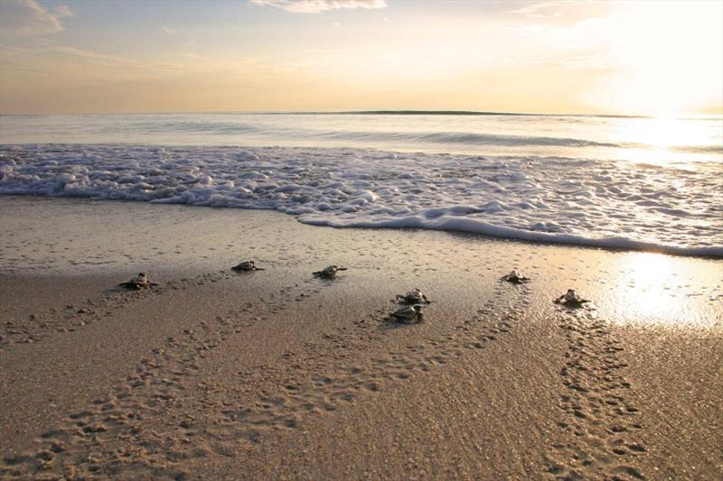 Although most hatchlings emerge from their nests at night, this group of loggerhead hatchlings scrambles into the surf at sunrise. - photo © Witherington - Our Sea Turtles. Blair and Dawn Witherington.