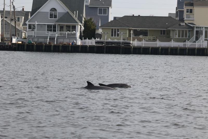 Being close to shore can put dolphins in danger. - photo © Marine Mammal Stranding Center