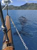 Right Whales are just part of Derwent Hunter's current daily working schedule in the Whitsundays. © Tallship Adventures